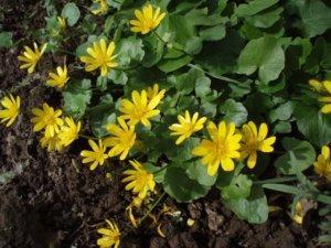 Растение Жабник